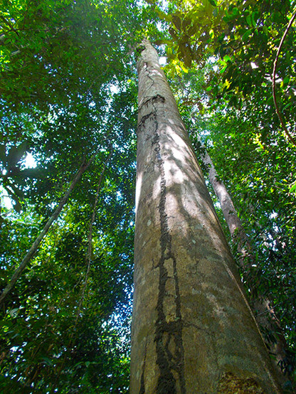 Giant trees in the Amazon jungle